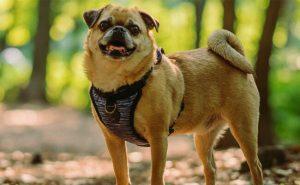 Pughuahua dog breed