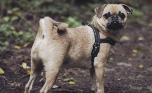 Chugg dog breed
