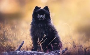Black Pomeranian dog photo (1)