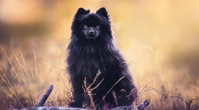 Black Pomeranian dog photo (1)