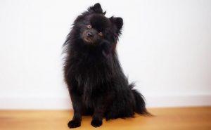 Black Pomeranian for sale