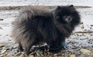 Black Pomeranian puppy photo