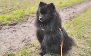 Cute Black Pomeranian Pictures