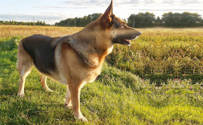 German Shepherd dog photo