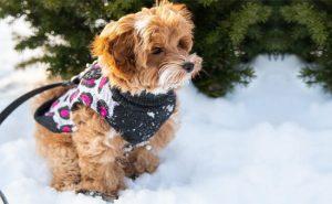 Poovanese dog Photo