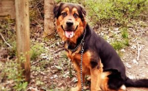 Rottweiler Shepherd