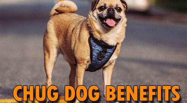 chug dog benefits