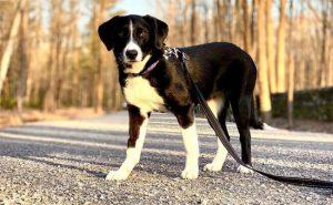 Borador Dog Photo