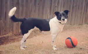 Borador Puppy Photo