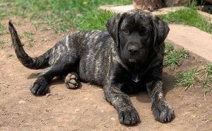 Cute Mastador puppy