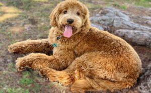Golden Labradoodle puppy