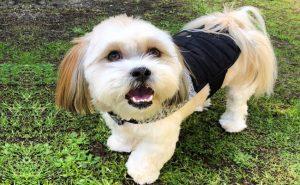 Maltese Shih Tzu dog photo (1)