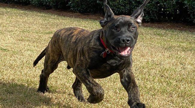 Mastador Dog Photo