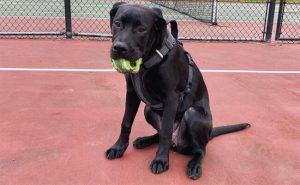 Mastador puppy Photo