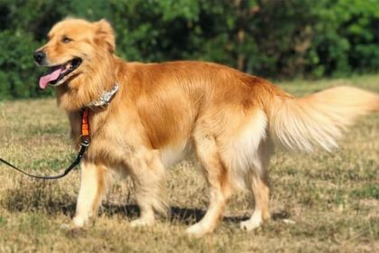 German Shepherd Golden Retriever Mix dog