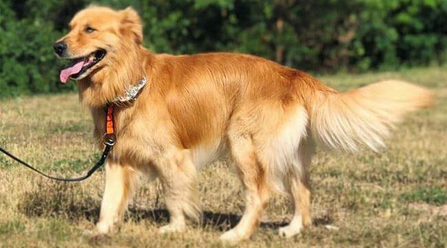 German Shepherd Golden Retriever Mix dog