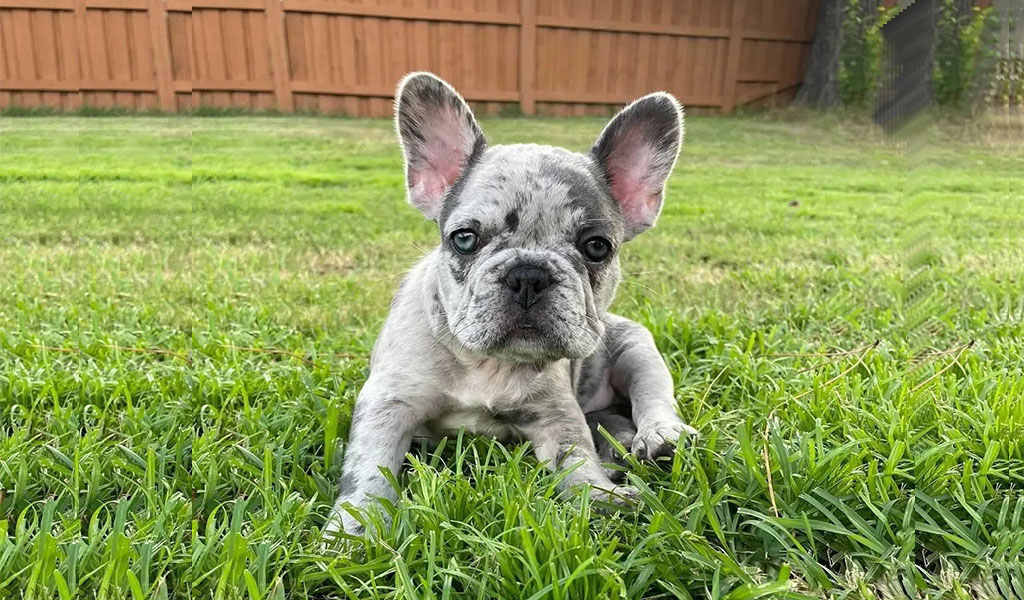 French bulldog Breed complaints number & email