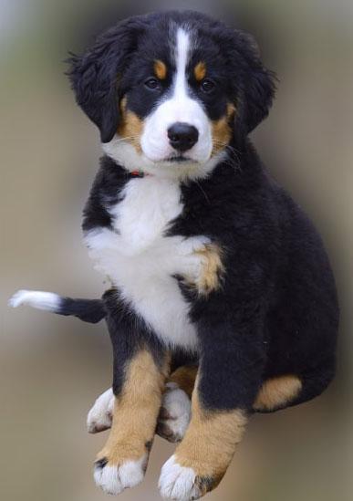 Berner-Mountain-puppy