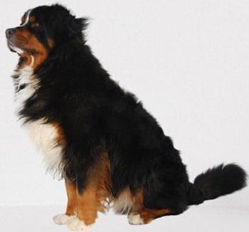 Bernese-Mountain-dog-Appearance