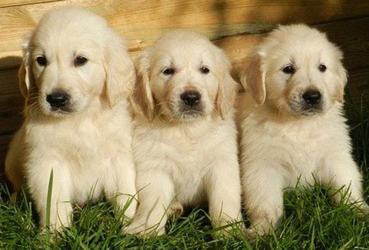 Golden Retriever-puppies
