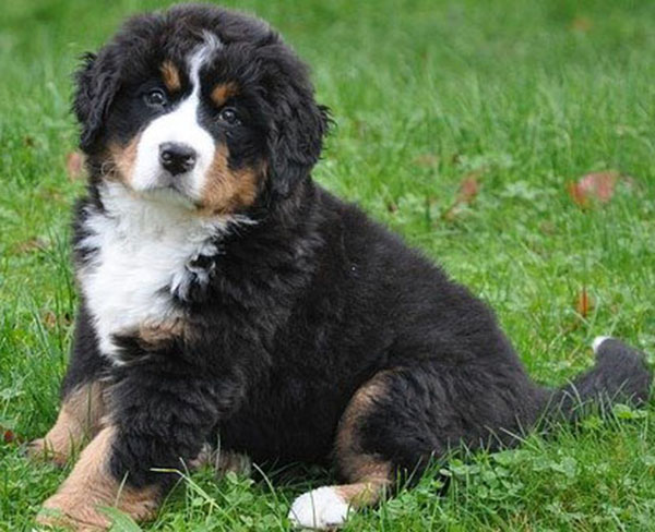 Bernese Mountain dog complaints number & email