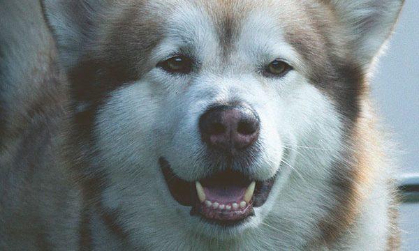 Alaskan-Klee-Kai-breed