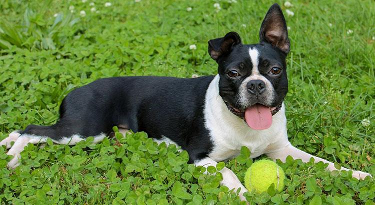 Boston-terrier-history