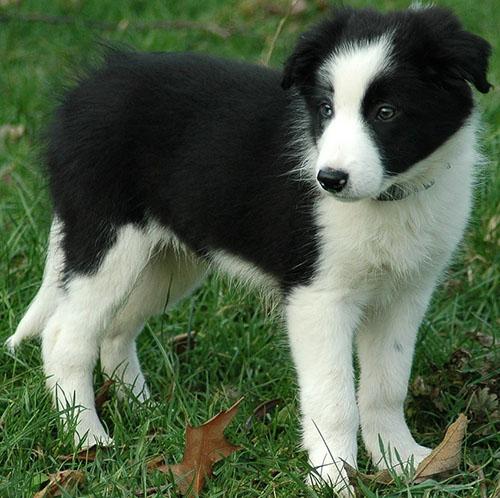 Border-collies-puppy