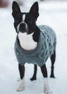 Boston-Bull-care-during-winter