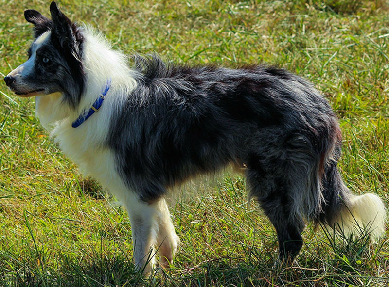 border-collie-Appearance