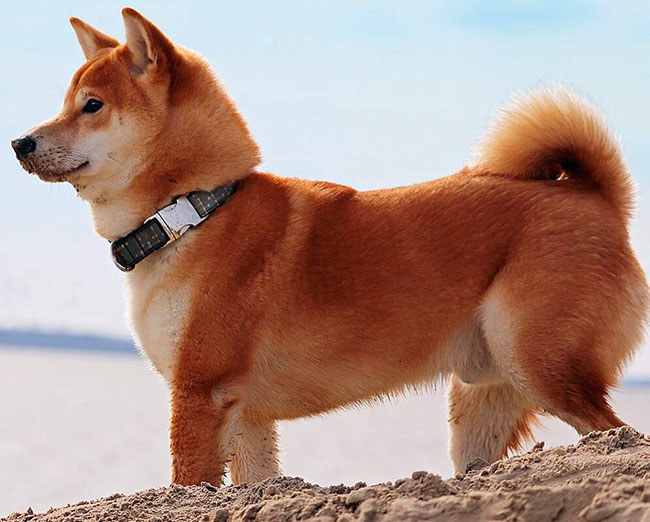 Shiba Inu complaints number & email